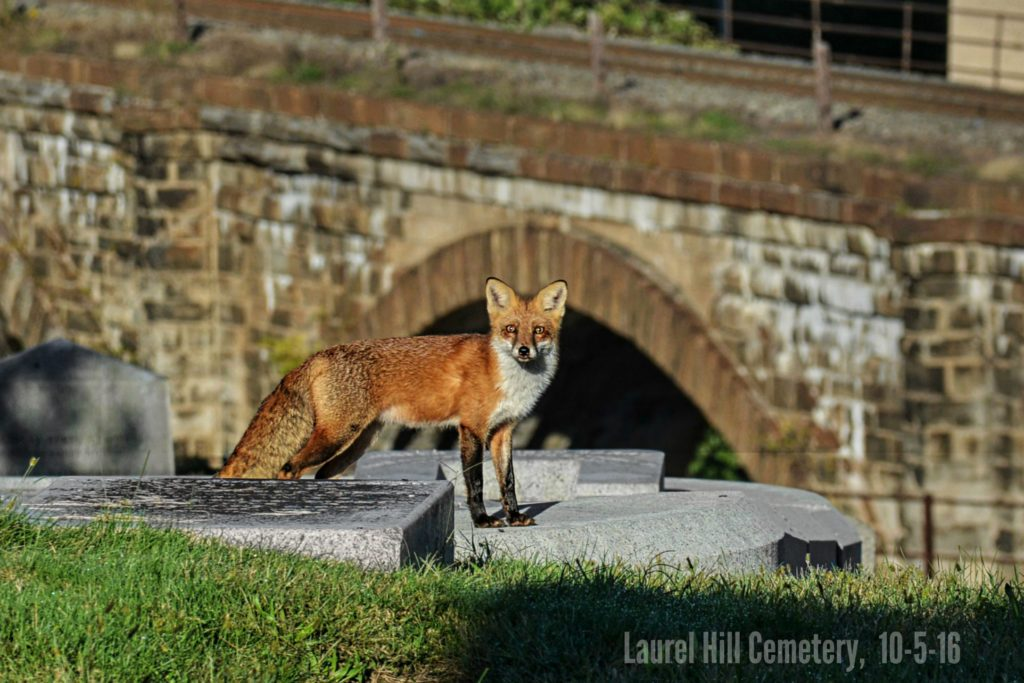 EastFallsLocal-10-5-Laurel-Hill-fox-by-skew-bridges-8-sharp-auto-zoom-super-again-txt-cemetery-name-1024x683.jpg