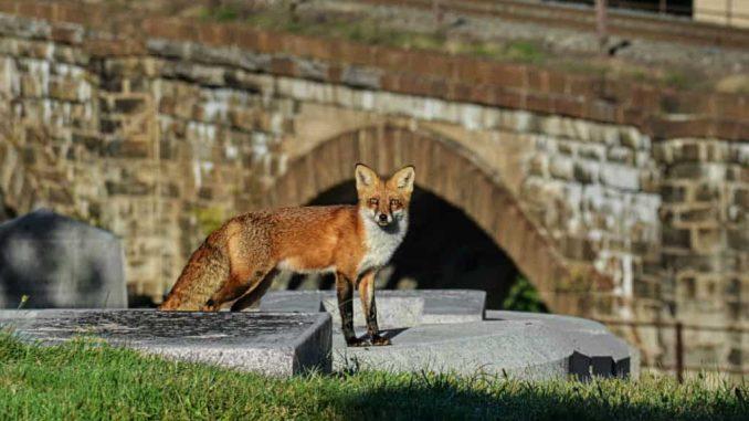 EastFallsLocal-10-5-Laurel-Hill-fox-by-skew-bridges-8-sharp-auto-zoom-super-again-txt-cemetery-name-1024x683.jpg