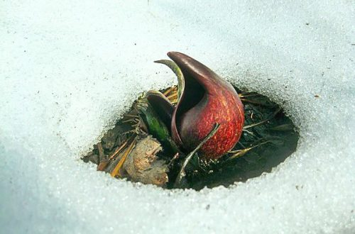 skunk-cabbage-winter.RETOUCHED.jpg